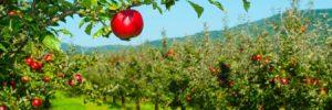 Grant J Hunt Apples
