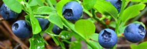 Grant J Hunt Blueberries